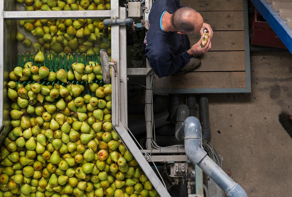 À la récolte des poires